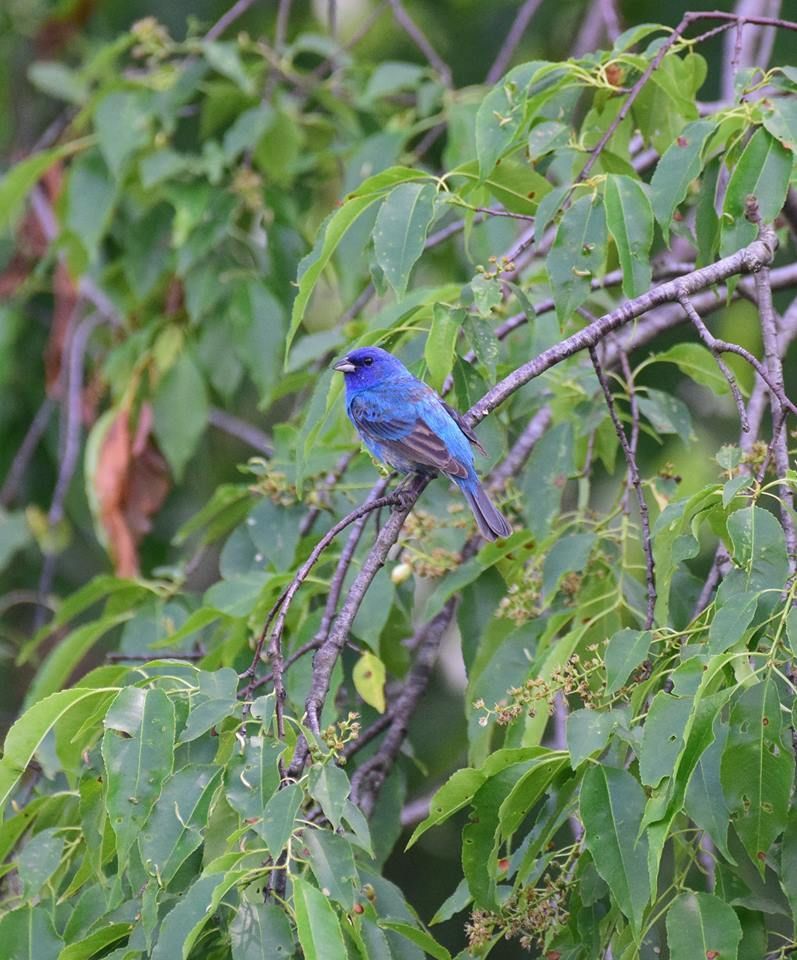 Indigo bunting at Hays Woods, May 2018 (photo by Todd Hooe)