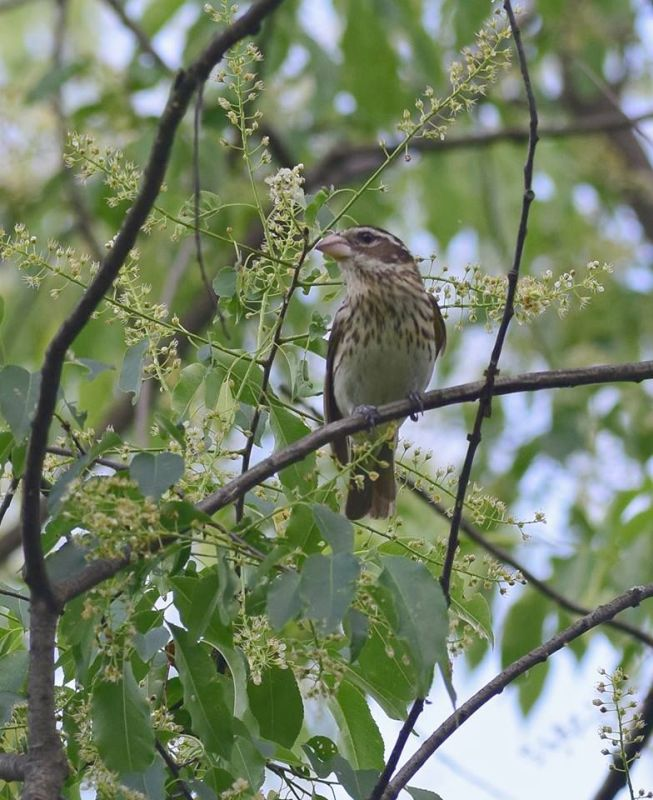 Rose-breasted grosbeak, female, at Hays Woods May 2018 (photo by Todd Hooe)
