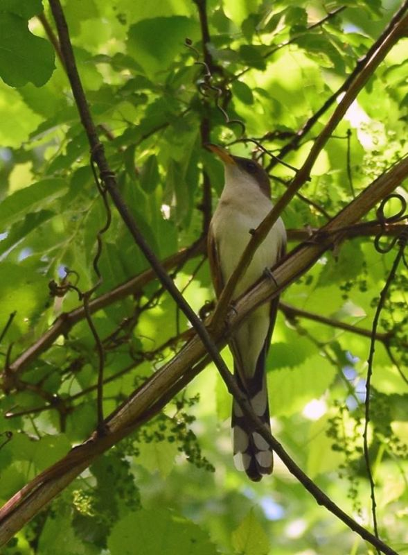 Yellow-billed cuckoo at Hays Woods, May 2018 (photo by Todd Hooe)
