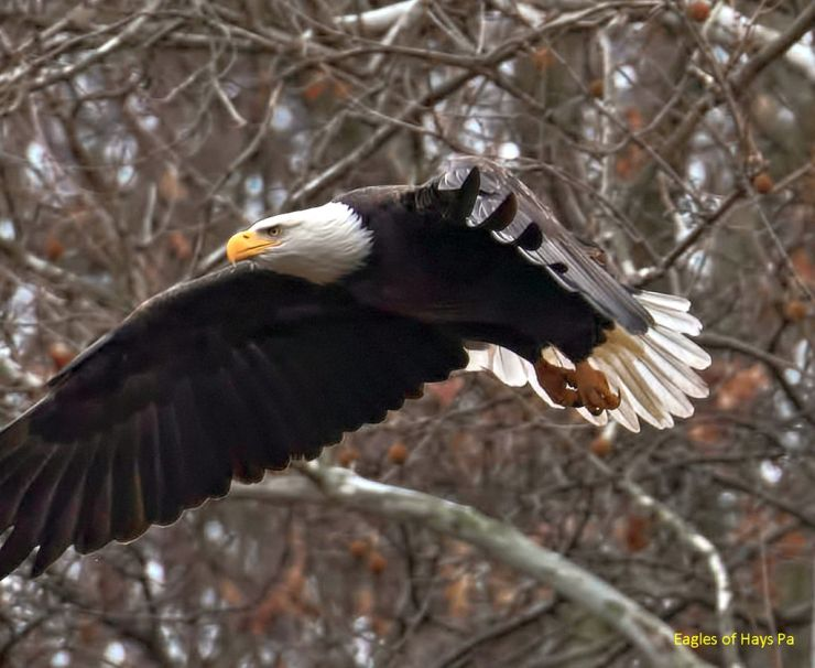 Bald eagle at Hays Woods (photo by Dana Nesiti)